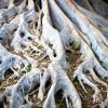 Sacred Banyan Trees
